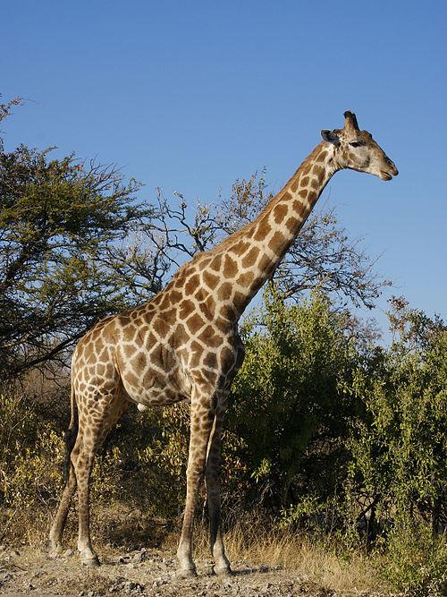 500px-Giraffa_camelopardalis_angolensis.jpg